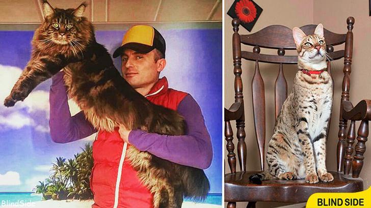 Biggest Domestic Cat
