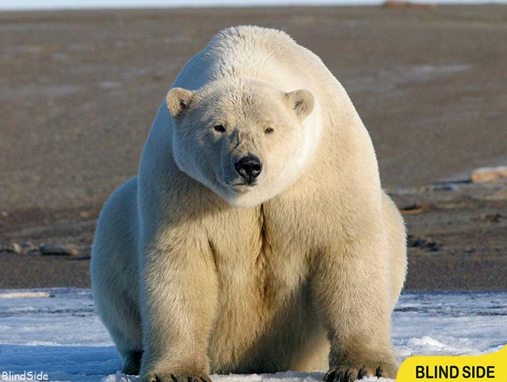 Largest Polar Bear Ever Recorded