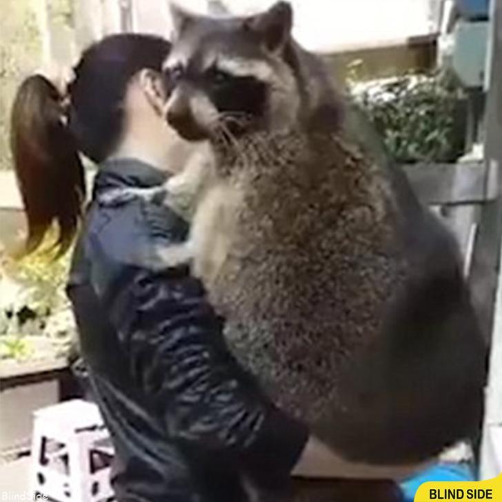 World's Largest Raccoon