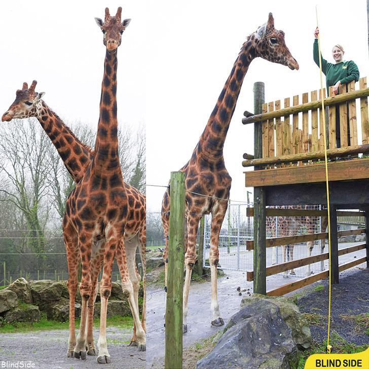 World's Tallest Recorded Giraffe
